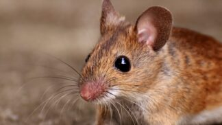 Máte v domě myši, nebo hůř, potkany? Víme, jak se jich zbavit # Thumbnail