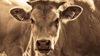 Thumbnail # Opravdu zvláštní zvyk Indů. Věří, že pitím kravské moči lze vyléčit HIV i rakovinu