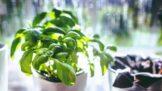 Zelenina a bylinky, které vám nesmí doma chybět. Vypěstovat je můžete i v paneláku