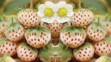 Ananasové jahody svádí Australany. V Česku si jich zatím moc nevšímáme