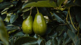 Hruškovec přelahodný: Díky oblíbenosti plodů tohoto ovocného stromu se kácejí hektary lesů