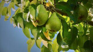 Hrušky: Jedinečné dietní podzimní ovoce, se kterým můžete v kuchyni vykouzlit zázraky