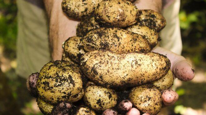 Královská ozdoba i jídlo chudých aneb vše, co jste nevěděli o bramborách