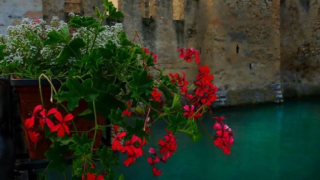 Květ aristokratů neboli muškát: Ozdobí každý balkon a vyléčí nejrůznější zdravotní obtíže