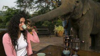 Black Ivory: Luxusní sloní káva, kterou dostanete jen na čtyřech místech světa