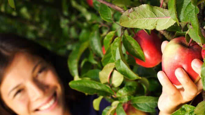 Co s přebytkem jablek? Zkuste jablečné kůže nebo ledové pyré