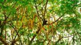 Thumbnail # Moringa je stromem života. Zázračná rostlina z podhůří Himaláje hubí dvě rakoviny