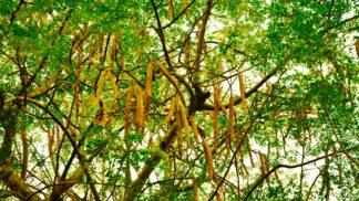 Moringa je stromem života. Zázračná rostlina z podhůří Himaláje hubí dvě rakoviny