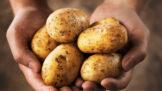 Thumbnail # Vyznejte se v bramborách: Jaké se k čemu hodí a jak poznat ty, které začínají být jedovaté