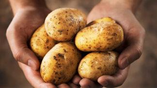 Vyznejte se v bramborách: Jaké se k čemu hodí a jak poznat ty, které začínají být jedovaté