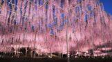 Japonská vistárie, které je už 146 let, nabízí úchvatnou podívanou. Připomíná procházku pod růžovou oblohou