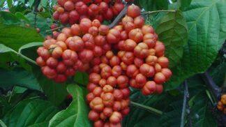 Počasí jako na houpačce: Zázračný kořen z amazonských pralesů — guarana — vás připraví na podzimní střídavé teploty