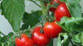 Italové o nich mluví jako o vládcích světových zahrad — rajčata — zelenina s hubnoucími i protirakovinovými účinky