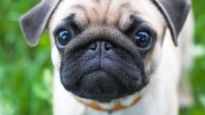 Nejoblíbenější psí plemena. Jaké psy si Češi nejvíce pořizují?
