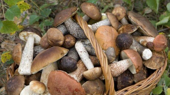 Houbová předpověď na víkend: Vypadá to velmi slibně, říká mykolog Libor Tmej
