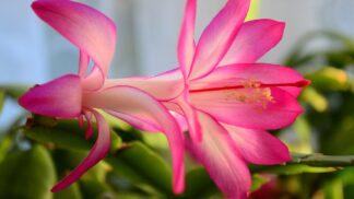 7 důvodů, proč byste si letos měli pořídit vánoční kaktus
