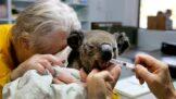 Smutná předpověď: Koaly čeká funkční vyhynutí