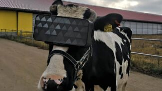Pastva pro oči: Ruské krávy nosí 3D brýle, aby produkovaly více mléka