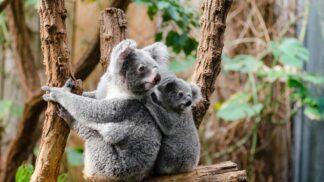 Hrdinové z Austrálie. Dva bratranci ve svém autě zachránili okolo dvaceti koalů